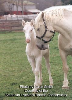 """American Cream Horse - """"the size... makes it desirable for harnessing, hitching, and driving.  Good dispositions and a willingness to work make them an easily managed breed on small farms.  Still critically rare, but its numbers are increasing due to its unique appearance, history, and natural fit within sustainable farming practices."""""""