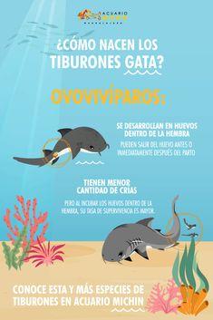 Los tiburones Gata te cautivarán. 💙  Te esperamos en Acuario Michin para que conozcas esta y otras especies. 🦈 Planeta Animal, Shark Art, Curious Facts, Spanish Words, Mundo Animal, Shark Week, How I Feel, Cute Baby Animals, Cute Babies