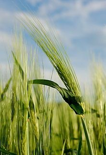 Grain - Barley - Natural Farming, Organic Farming, Gluten Free Cooking, Dairy Free Recipes, Rna Sequencing, What Is Gluten, Barley Grass, Malted Barley, Food Trends