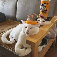 ほんで入れ代わって落ち着いとるwハッチャン長い方がよかったみたいw 皆様よい週末を〜♩ よいお花見を〜 #八おこめ #ねこ部 #cat #ねこ #八おこめズラ #チップスター #86円