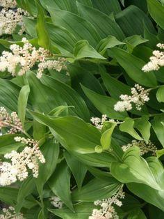 Smilacina racemosa - Valse salomonszegel, halfschaduw / schaduw