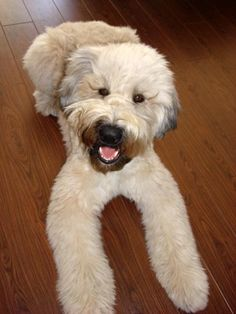 Wheaton terrier..A-dorable! I would love to have this big furr ball!