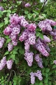 Lilacs, lilacs, lilacs... Great memories of the fragrant lilac bushes we had in our yard.  I loved picking them and bringing them in to Mom.  Ahhh....the aroma.....