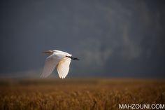 white crane, bird, white, black legs, asia, pokhara, wetlands, phewa lake,