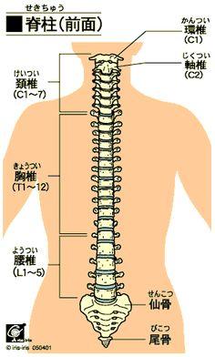 脊柱 back bones
