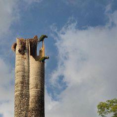 """Tal vez para ti solo sea un tronco seco que """"se ve feo y hay que quitarlo"""" pero para estas guacamayas maracaná es su nido su casa.  Los chaguaramos se ven en Caracas y otras ciudades de nuestro país en conjuntos residenciales plazas parques y otros espacios públicos. Son plantas apreciadas por su belleza y gran valor ornamental. También por el hecho de ser asociados con estatus y alcurnia. Lo cierto es que cuando la palma se seca en seguida se busca la forma de talarlos porque """"se ve feo""""…"""