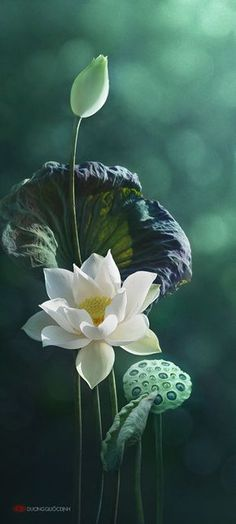 Beautiful white lotus in a sea of green. photo: Duong Quoc Dinh on Exotic Flowers, Amazing Flowers, Pretty Flowers, White Flowers, Sea Flowers, Beautiful Flowers Pictures, Flower Pictures, Spring Flowers, Belle Photo