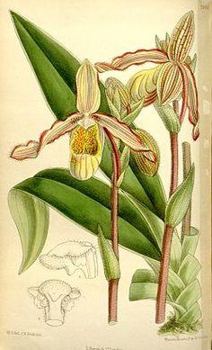 Phragmipedium sargentianum - Wikispecies