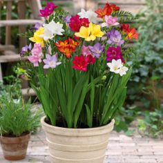 Freesia Mix - hope mine look as beautiful as these in a couple of months :)