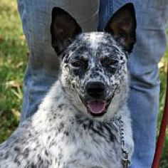 Pictures of Winston a Australian Cattle Dog for adoption in Tinley Park, IL who needs a loving home. Cute Puppies, Dogs And Puppies, Puppy Tattoo, Tinley Park, Dog Rules, Puppy Breeds, Australian Cattle Dog, Cute Funny Animals, Working Dogs