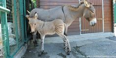 So this is a zonkey named Ippo that was just born in Florence. A zebra hopped the fence and bred with a donkey. *