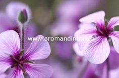 The versatility of Geranium essential oil comes from its balancing properties. It is highly recommended for hormonal problems, especially in women.