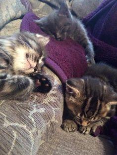 My sleepy kitties. 6 weeks old. Sent in by Samantha Priest Barrett: