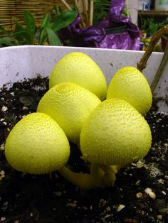 Leucocoprinus birnbaumii arising in a flowerpot.