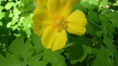 Celandine Poppy: Can You Grow Celandine Poppies In The Garden - Wildflowers are a great way to enjoy natural plants and the beauty they offer. This is especially true of celandine poppy wildflowers. Read this article to learn about celandine poppy info. Yellow Wildflowers, Spring Wildflowers, Yellow Flowers, Wild Flowers, Woodland Plants, Woodland Garden, Wildflower Drawing, Outdoor Flowers, Garden Care