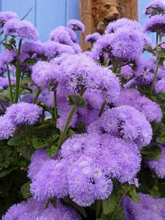 "Ageratum houstonianum 'Blue Horizon'; blooms spring to early winter; ATTRACTS: Butterflies and Brown Thrasher bird.  Plant with ""Cosmos"" to attract Monarch Butterfly."