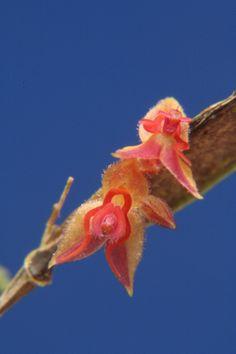 Miniature-orchid / Micro-orquidea: Lepanthes ciliisepala - Flickr - Photo Sharing!