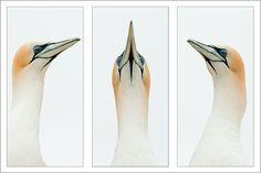 A Gannet Study - © Alistair McAuslan APSNZ
