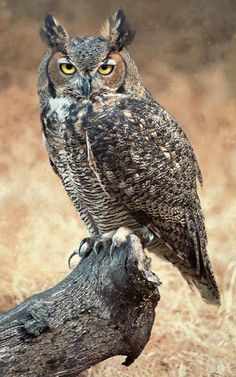 Google Image Result for http://thebatavian.com/sites/thebatavian.com/files/image/tree/Great_Horned_Owl.jpg