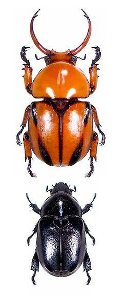 Fruhstorferia nigromuliebris, male and female