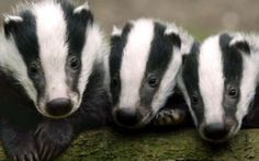 Vaccinate our badgers for TB, an Environment project from Matlock, Derbyshire Crowdfunding on Crowdfunder.co.uk Cute Baby Animals, Animals And Pets, Animal Babies, Funny Animals, Exotic Animals, Wild Animals, Beautiful Creatures, Animals Beautiful, Baby Badger