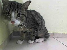 NYC ** Sweety Pie Kitten ** TO BE DESTROYED 03/20/15 DEAN was calm, relaxed, & friendly - he meows softly & blinks.Dean comes to the front soft & relaxed, head-butts the hand, allows petting, & begins to purr.. ID #A1030180. Male brn tabby & white about 11 MONTHS old STRAY https://www.facebook.com/nycurgentcats/photos/a.975202992497688.1073742630.220724831278845/975203289164325/?type=3&theater