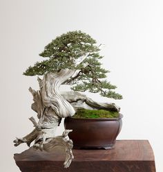 Bonsai… Rocky Mountain Juniper