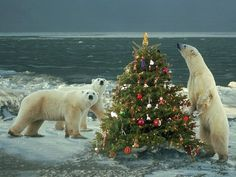 Polar bear and christmas tree Wallpapers - HD Wallpapers 16504 Funny Christmas Pictures, Christmas Photos, Christmas Humor, Christmas Stuff, Holiday Pics, Homemade Christmas, Holiday Fun, Holiday Ideas, Polar Bear Christmas