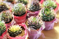 Tüllü Saksıda 'Sempervivum' Çiçeği - Mavi-Beyaz
