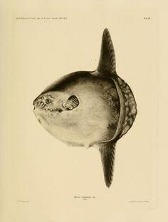 Det Kongelige Danske videnskabernes selskabs skrifter. Naturvidenskabelig og mathematisk afdeling, ser. 6, no. 9 (1898-1901)