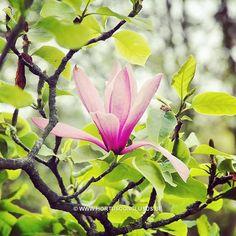 Magnolia 'Tiffany' #gardening #tuinieren #jardinage #gartenarbeit #magnolia #flowers #bloemen #fleurs #blumen #tree #boom #arbre #baum #hortusconclusus #treenursery #boomkwekerij #pépinière #baumschule #uitbergen #berlare #zele #wichelen #schellebelle #lokeren #schoonaarde #dendermonde #laarne #beervelde #kalken #wetteren