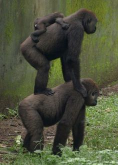 Building a Tower - Photo by Roseanna Agnew - #gorillas