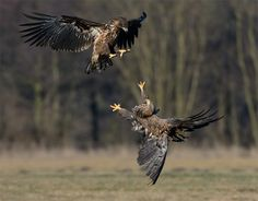 """Reach Out - An almost full grown White-tailed Eagle in the lower part does reach out its talon for a mid air handshake to the juvenile White-tailed Eagle on top :-)  Shot taken near Kutno in mid Poland.   A big thanks to Marcin Nawrocki <a href=""""http://www.polandwildlife.com"""">Poland Wildlife</a> and his cousin Alexander for the great time I've had.  ©<a href=""""http://www.hewaph.com"""">Harry Eggens</a>  Best wishes,  Harry"""