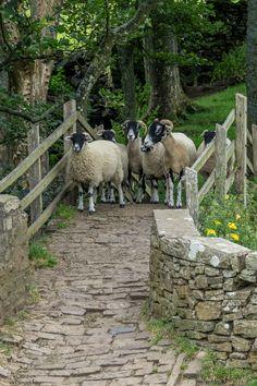Crossing Over and Back Country life ✿Vida en el campo ✿ Country Farm, Country Life, Country Living, Farm Animals, Cute Animals, Jurrassic Park, Sheep And Lamb, Tier Fotos, Mundo Animal