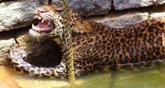 Um Leopardo Ficou Preso Num Poço, Veja Como Uma Aldeia Inteira Arriscou a Vida Para o Salvar