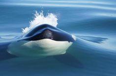 orca whale.  Amazing shot