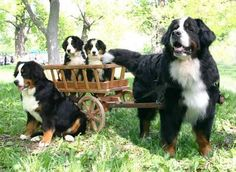bernese mountain dog - Google 検索