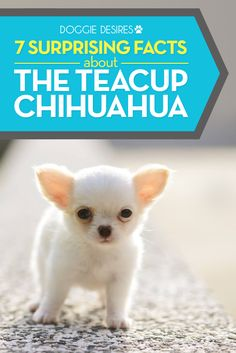 7 surprising facts about the teacup chihuahua >> http://doggiedesires.com/teacup-chihuahua/
