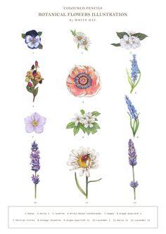 COLOURED PENCILS BOTANICAL FLOWERS ILLUSTRATION By WHITE HAT. 1.Pansy 2.Daisy I 3.Jasmine 4.Micky Mouse (Ochnaceae) 5.Poppy 6.Grape Hyacinth I 7.Persian Violet 8.Orange Jessmine 9.Grape Hyacinth II 10.Lavender I 11.Daisy II 12.Lavender II