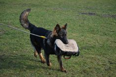 German Shepherd training