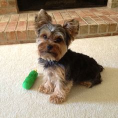 My yorkie on pinterest yorkie yorkies and haircuts