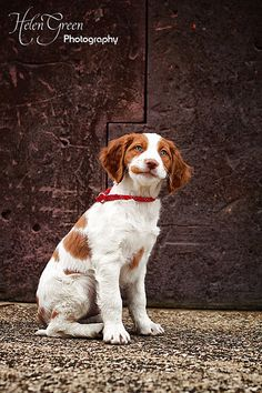Brittany Spaniel Pup ~ Classic Look Brittany Puppies, Brittany Spaniel Dogs, Puppies And Kitties, Cute Puppies, Cute Dogs, Doggies, Englisch Springer Spaniel, Brittney Spaniel, Animals And Pets