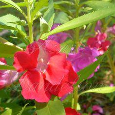 watermelon and azure flowers | Heirloom Camelia Flowered Balsam Mix Flower Seeds by AzureDandelion