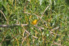 Yellow Warbler ©Steve Frye. Wild Bird Center of Boulder, CO Saturday Morning Bird Walk in Boulder County – May 10, 2014.