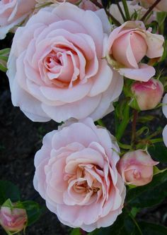 Shrub Rose: Rosa 'Enchantment' (Denmark, 1991)
