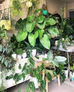 "Philodendron ""Congo"""