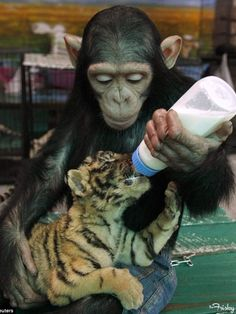 Baby Tiger & Chimp