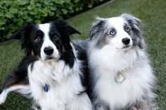 Border Collies - A black and white tricolor and a lavender merle