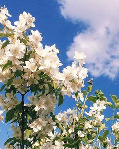 #jasmine #белый #white #жасмин #небо #flowers #sky #голубой #blue #skyblue