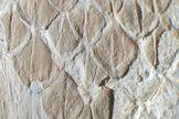 Fossilized mosasaur skin reveals ancient predator's sharklike moves